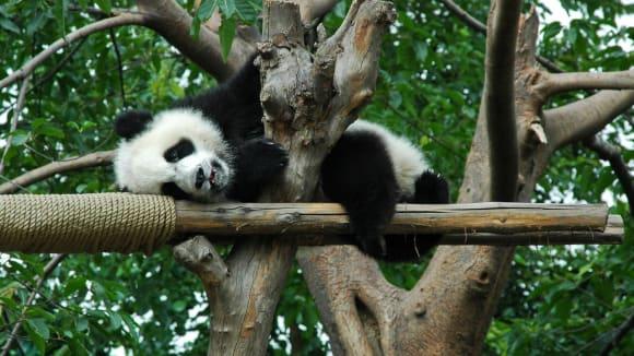 Panda velká, lenošná