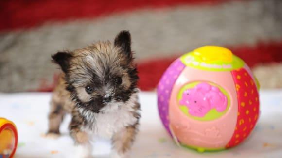 Nejmenší pes světa