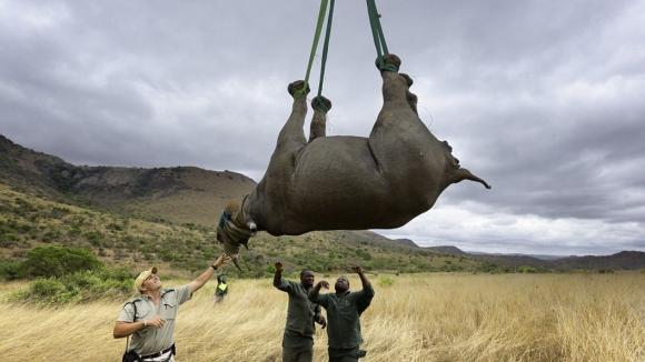 Transport nosorožce