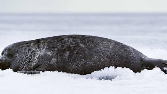 Tuleň od jezera Bajkal