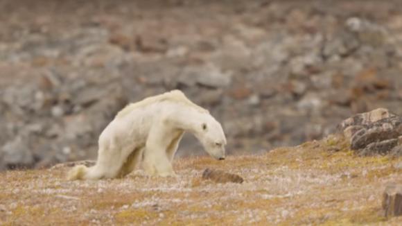 Záběry umírajícího ledního medvěda