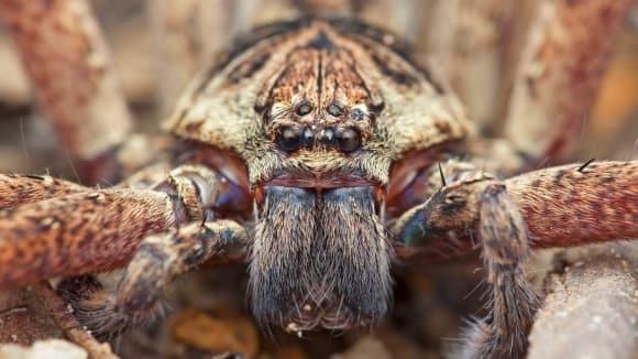 Australský lovecký pavouk aka huntsman.