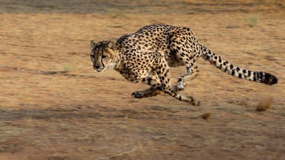 Gepard - miláček fotografů i lovců