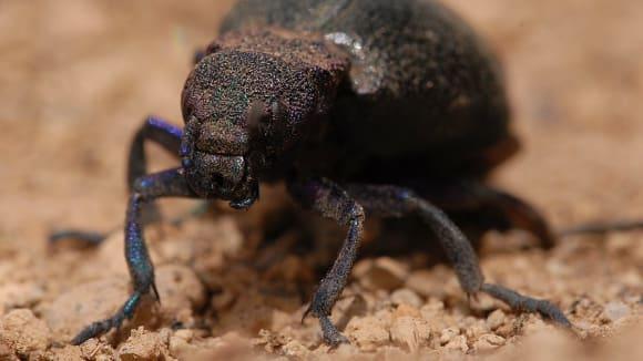 Jedovatá majka - rod Meloe - druh žijící v Íránu