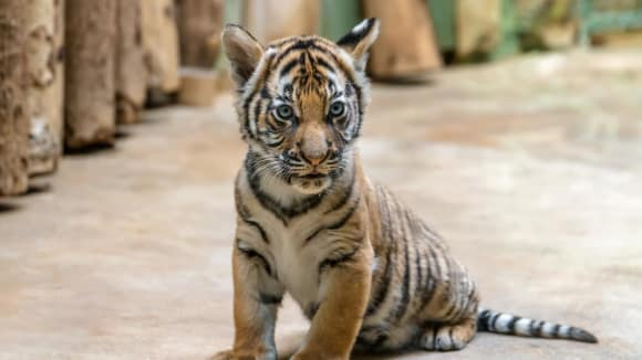 Sameček tygra malajského Bulan. Foto: Petr Hamerník, Zoo Praha.