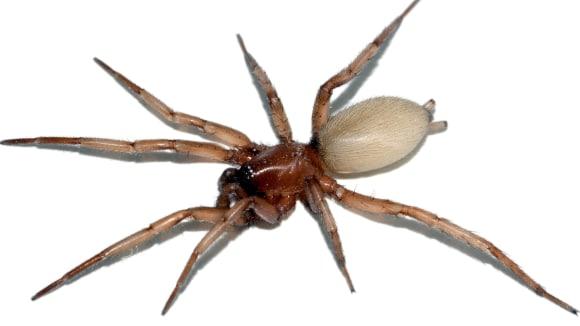 Skálovka - pavouk s unikátní loveckou technikou