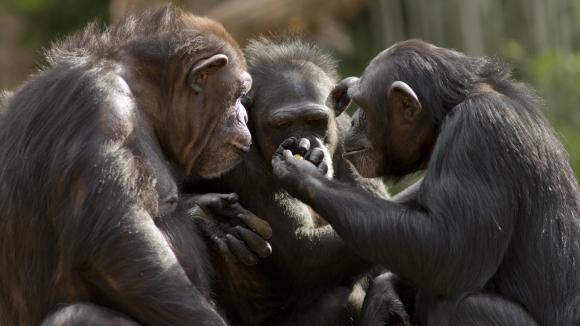 Šimpanzí sněm