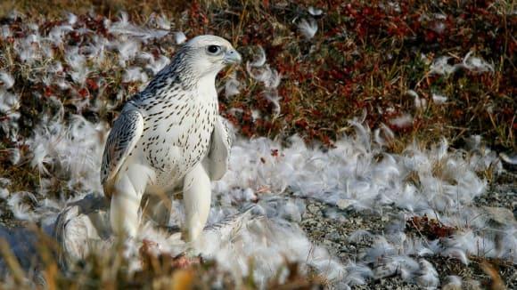 Rarozi - vzácní a krásní dravci - raroh lovecký vzácná bílá forma