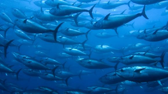 Hejno tuňáků obecných