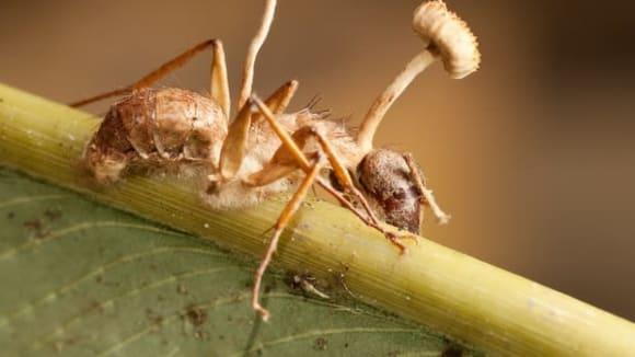 Mravenec nakažený houbou houby Ophiocordyceps