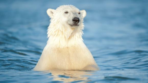 Medvěd v moři