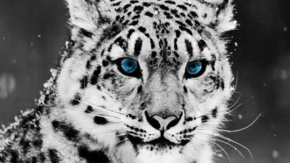 Irbis s modrýma očima