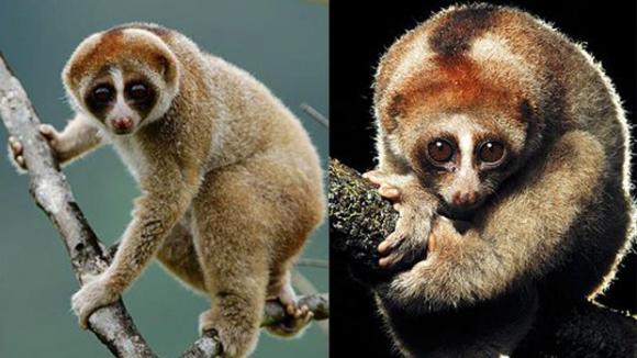 Jedovatá opice z Bornea – největší přírodovědecký objev roku 2012