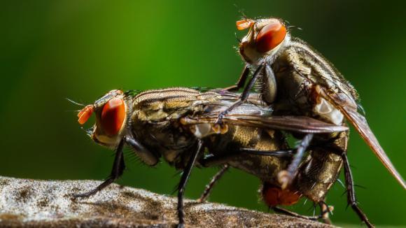 Homosexuální chování hmyzu