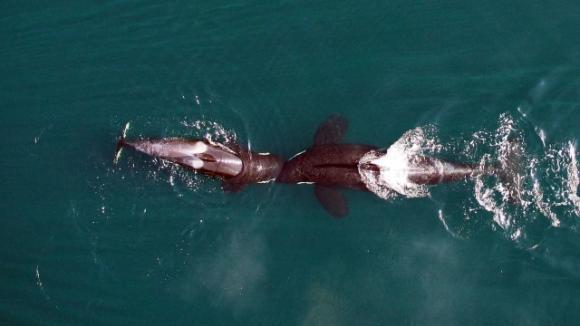 Kosatky nafilmované dronem