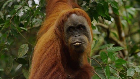 Orangutani se učí používat nejrůznější nástroje nejen jeden od druhého, ale také si dovednosti předávají mezi generacemi