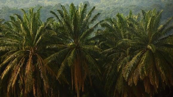 Olejnice guinejská - matka palmového oleje - Obrázek 5