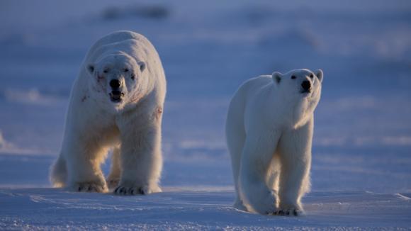 Samice ledního medvěda si odvádí pošramoceného samce, který se právě porval se soupeřem