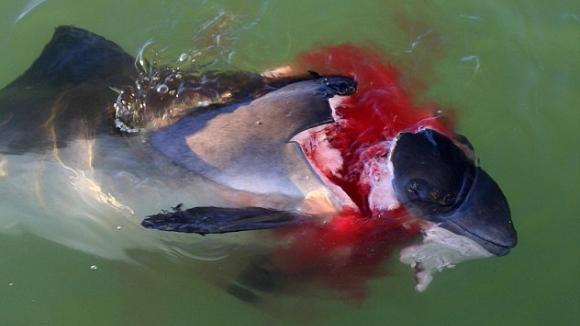 Sviňucha zabitá tuleněm