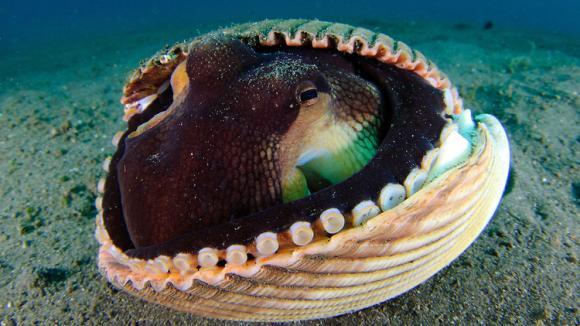 Úkryty chobotnice Amphioctopus marginatus - Obrázek 3