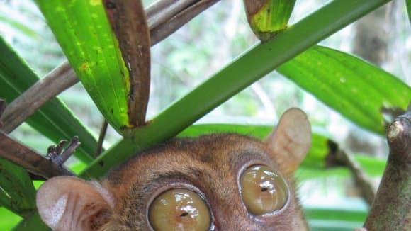 Nártoun filipínský - pralesní mistr Yoda