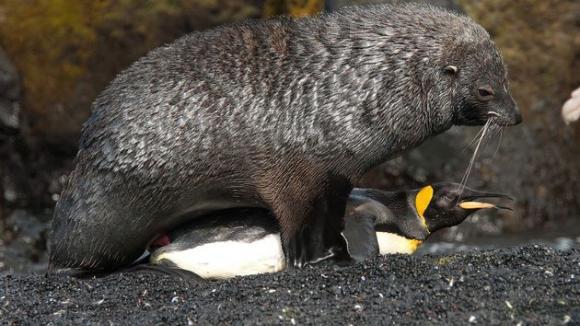Tučnák císařský a lachtan antarktický