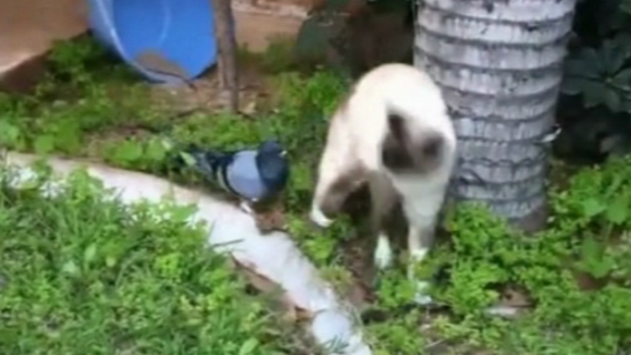 video Divácké zprávy: Holub laškuje s kočkou. Nebo naopak?
