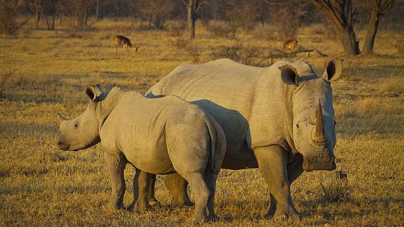 Bílí nosorožci