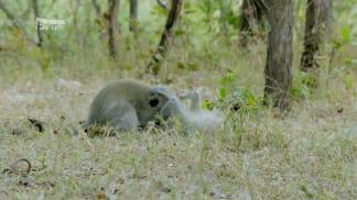 V zemi primátů 4 - když se kočkodani kočkují