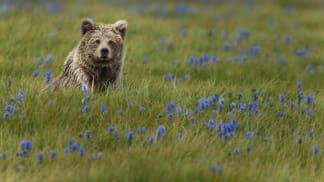 Deosai: Útočiště medvědů