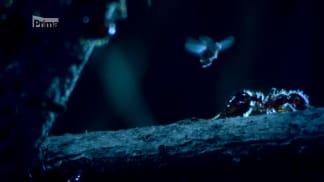 Život ve vzduchu 3 - hrbilka versus ohniví mravenci