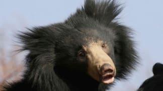 Medvěd z Knihy džunglí