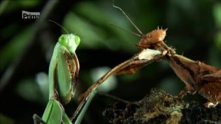 Nelítostné války hmyzu 1 - kudlanka proti strašilce