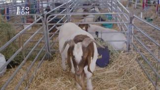 Zvířata, která psala dějiny 1 - ovce a kozy