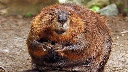 Jíte bobry? Kastoreum je výměšek análních pachových žláz, kterými si bobři značkují své teritorium. Jelikož tenhle výměšek velmi vzdáleně připomíná vanilku, dává se například do vanilkové zmrzliny nebo sladkostí s příchutí vanilky