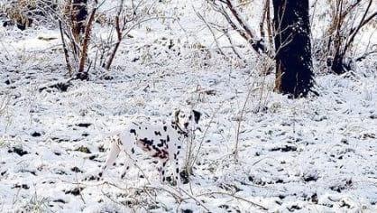 Ztracený dalmatin
