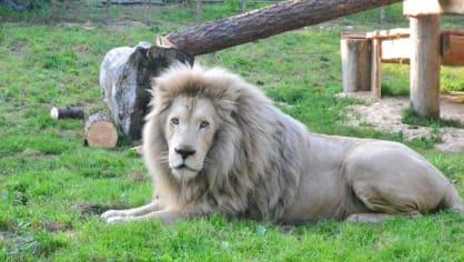Lev je rychlejší než kdejaký elektromobil!