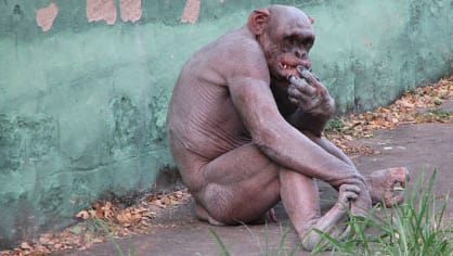 Ani šimpanzům se padání srsti nevyhýbá