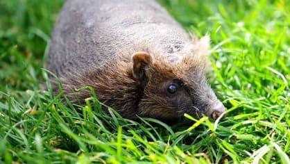 """Z neznámých důvodů přišel o svoji """"srst"""" i tento ježek"""