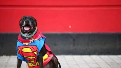 Stafordšírský bulteriér Ty si hrál na Supermana