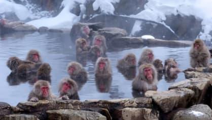 Masáže, koupele a relaxace. Takový je v současné době život makaků červenolících v opičím parku, který se nachází ve městě Jamanuči v centrální části Japonska. Zima a sníh jim nevadí, vyhřívají se totiž v horkých pramenech.