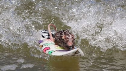 Skupinu surfujících hlodavců vlastní myší trenér Shane Willmott. Kromě krocení vln jeho svěřenci jezdí skvěle na skateboardu. Díky tomu myšky nezahálejí ani v zimě, kdy se surfovat nedá. Ze svého myšího týmu Willmott zatím neztratil jediného člena.