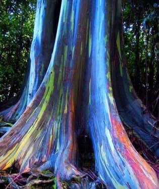 Duhový eukalyptus na Havaji