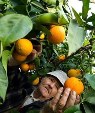 A je to, z Česka jsou definitivně subtropy. V zimě se tu sklízejí pomeranče.