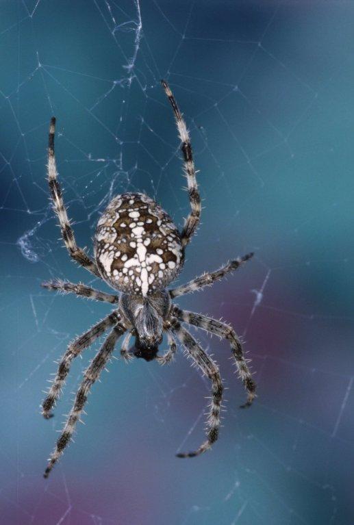 Nejkrásnější pavouci světa - Obrázek 2