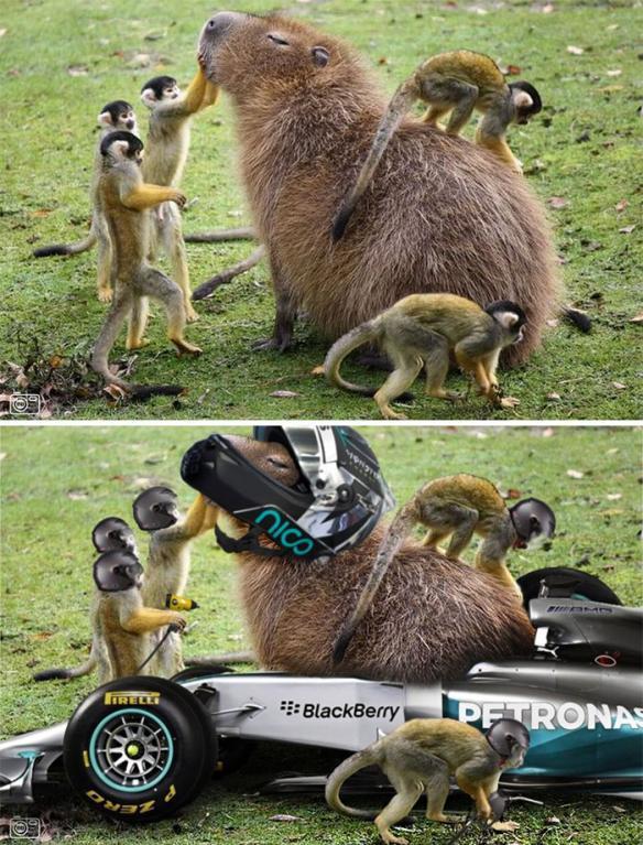 Kapybara v péči opiček