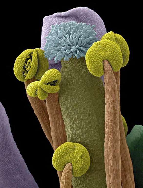 Fotografie pořízená elektronovým mikroskopem ukazuje pohlavní orgány rostliny