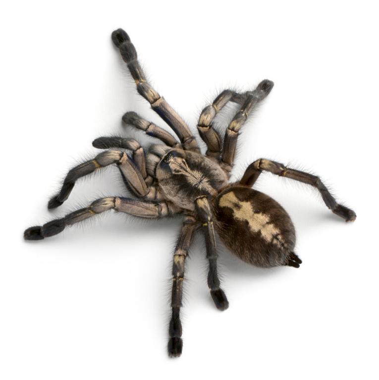 Nejkrásnější pavouci světa - Obrázek 8