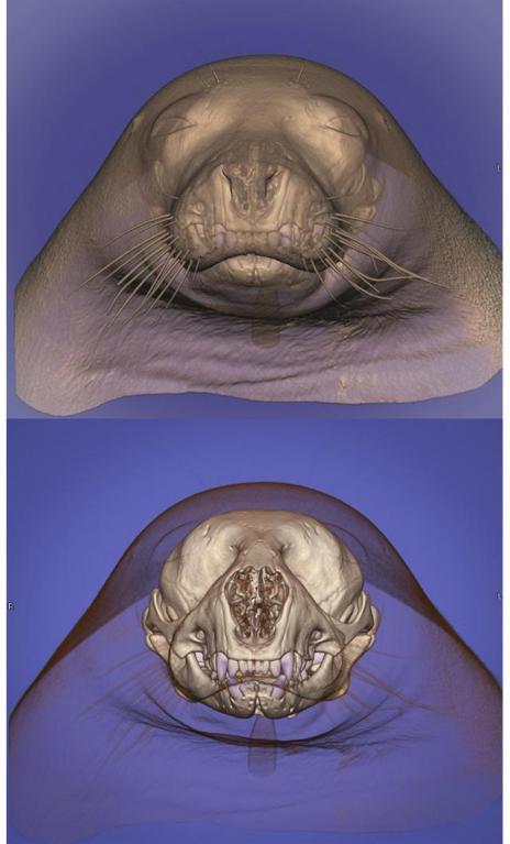 Díky dokonalé CT hlavy tuleně mohl vzniknout 3D model sloužící pro lepší poznání i zvěrolékaře