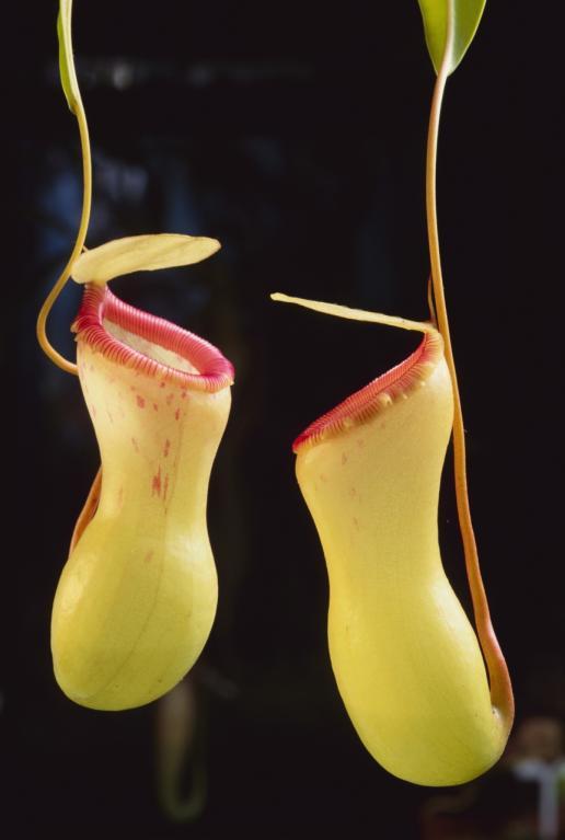 Byl to Charles Darwin, který v roce 1875 napsal první velké pojednání o masožravých rostlinách. Na fotu láčkovka, to je ovšem náročný kousek na údržbu